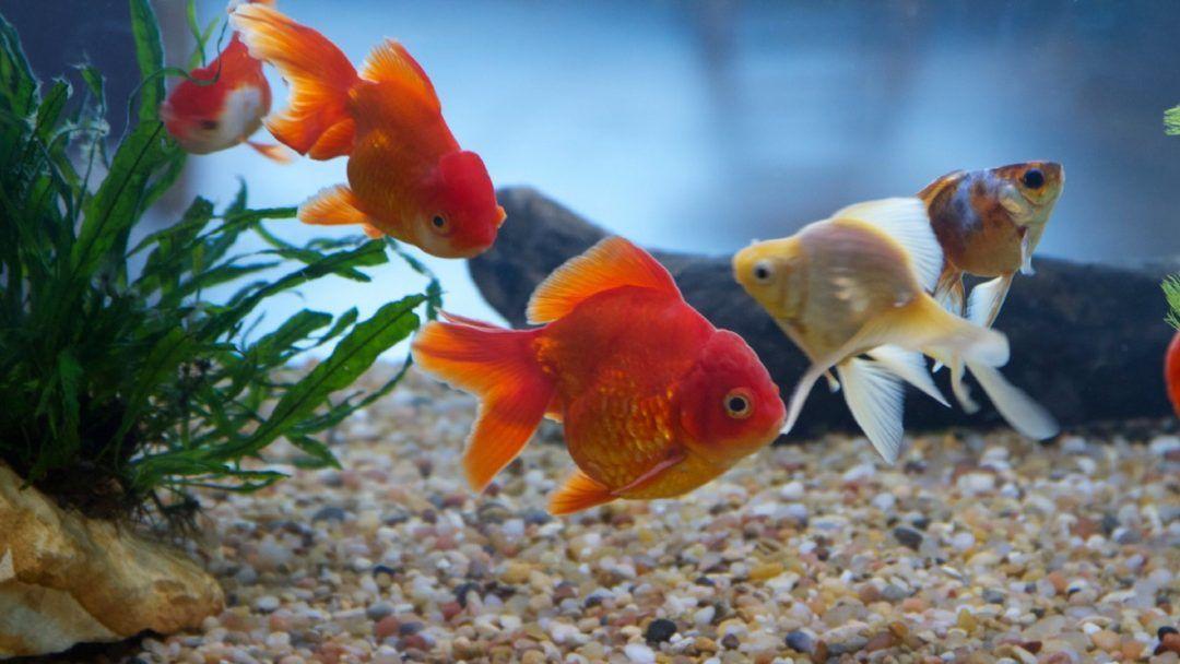 أسماك الزينة Fish Pet Fish Animals