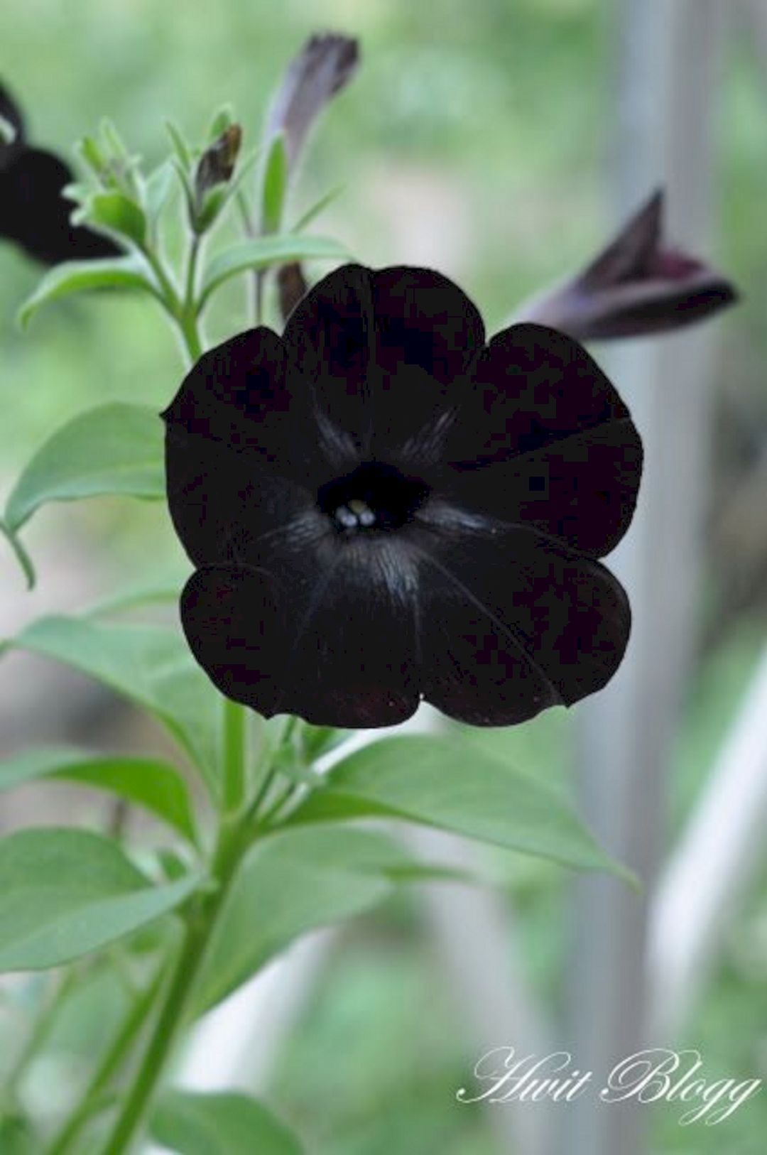 Make Your Landscape Awesome With Our 25 Black Flower Garden Ideas Flower Garden Plants Black Garden