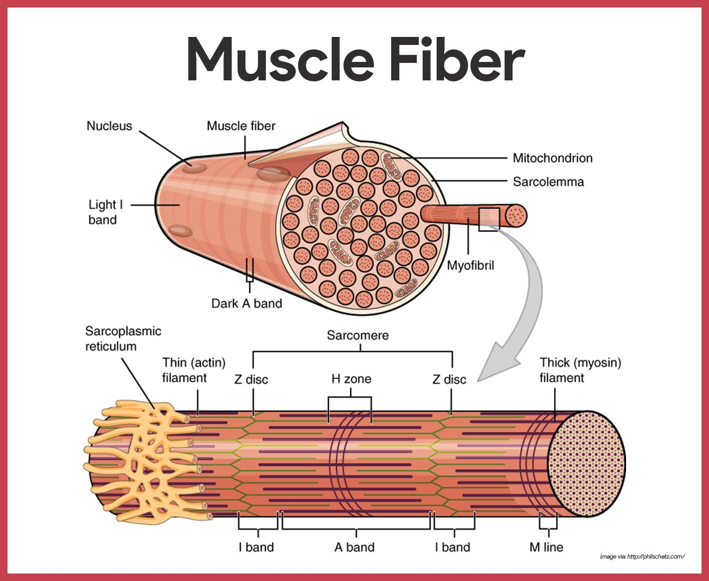 Image result for muscle fiber