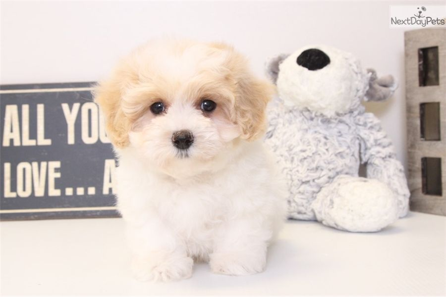 Malti Poo Maltipoo Puppy For Sale Near Ft Myers Sw Florida