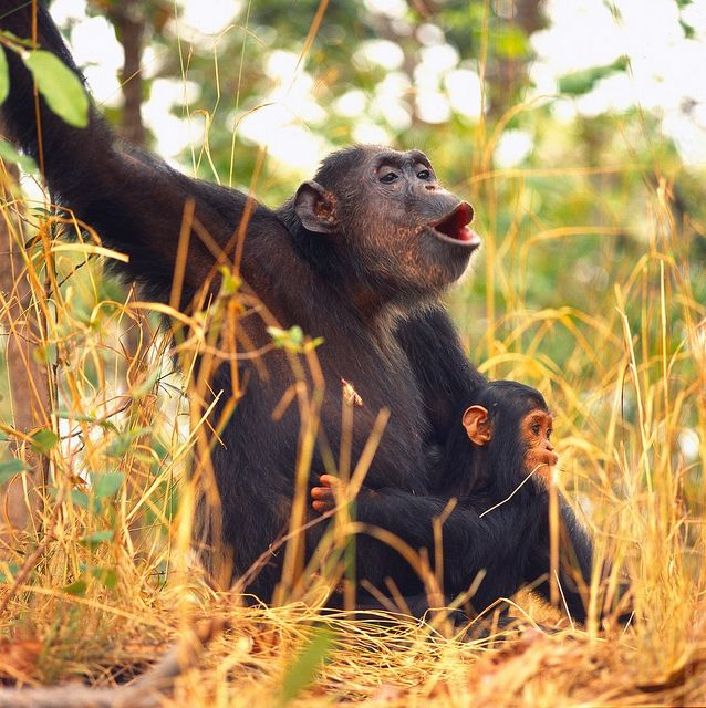 HELP STOP THE BRUTAL SLAUGHTER OF CHIMPANZEES!   Humanity is directly contributing to the HEINOUS GENOCIDE of wild chimpanzee populations through the thriving illegal commercial bushmeat trade. Urge your representatives to STRENGTHEN REGULATIONS related to the international trade of endangered species! PLZ Sign & Share!    http://www.thepetitionsite.com/takeaction/905/891/071/