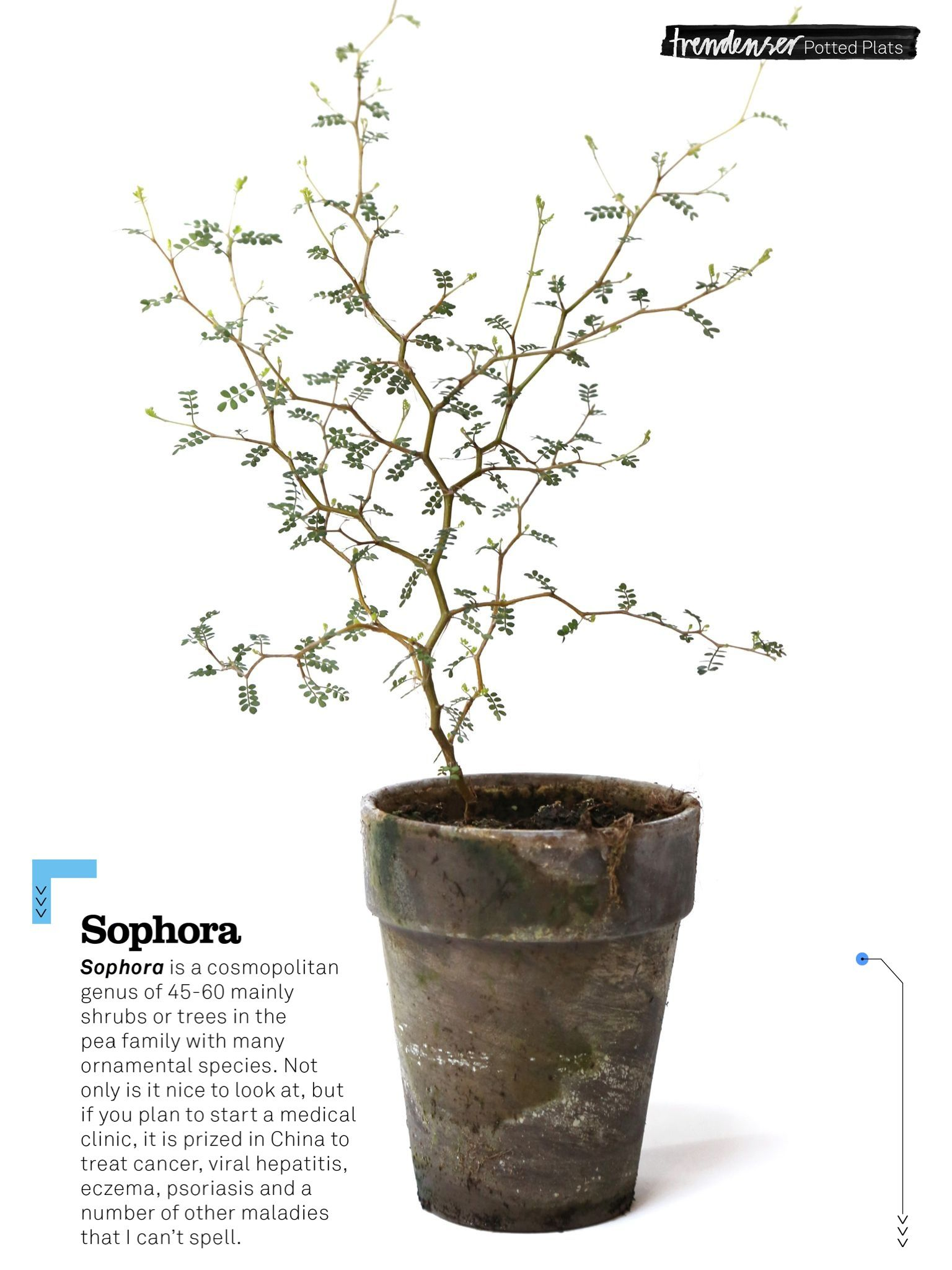 Sophora Plant (Trendenserse)