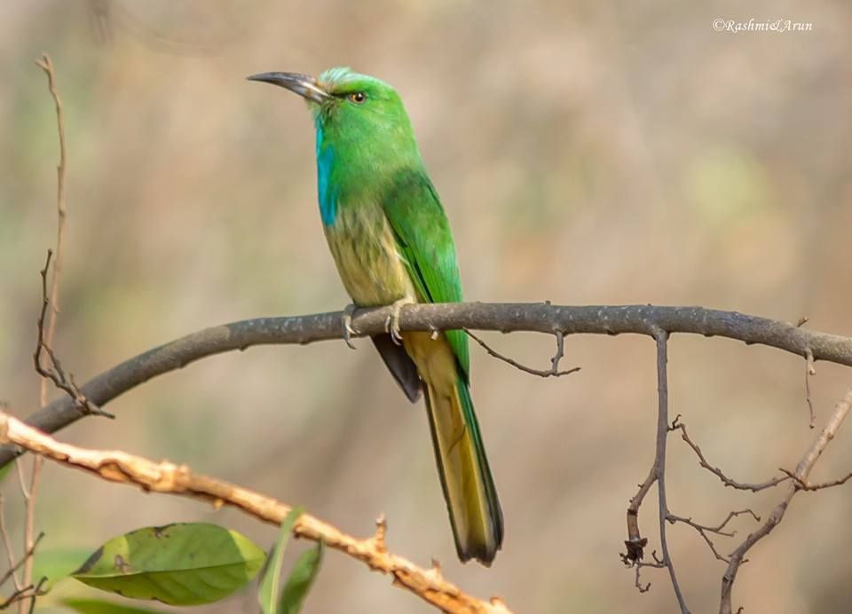 Blue-beared Bee-eater