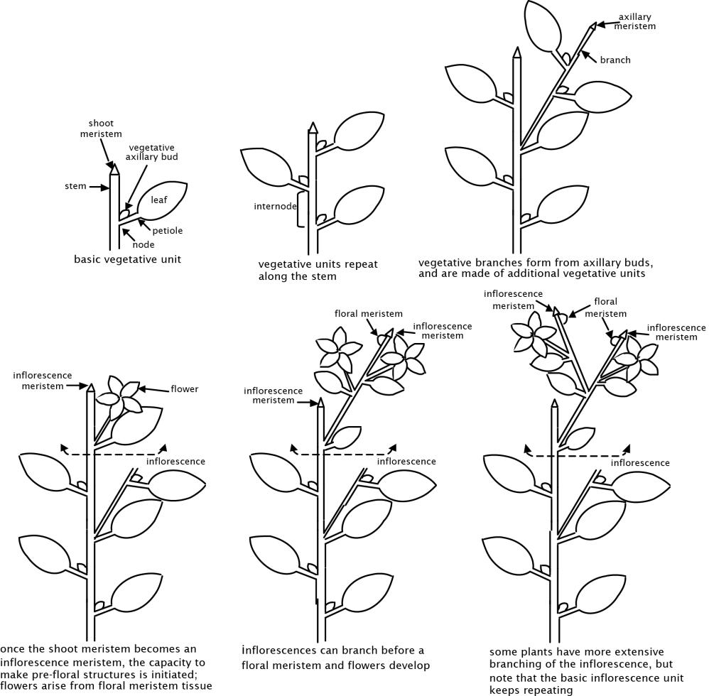 The extraordinary diversity of Brassica oleracea Plant