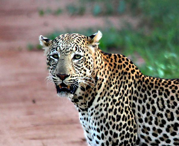 Leopard In Amboseli National Park