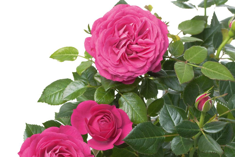 Plant BareRoot Roses Rose, Rose care, Shrub roses