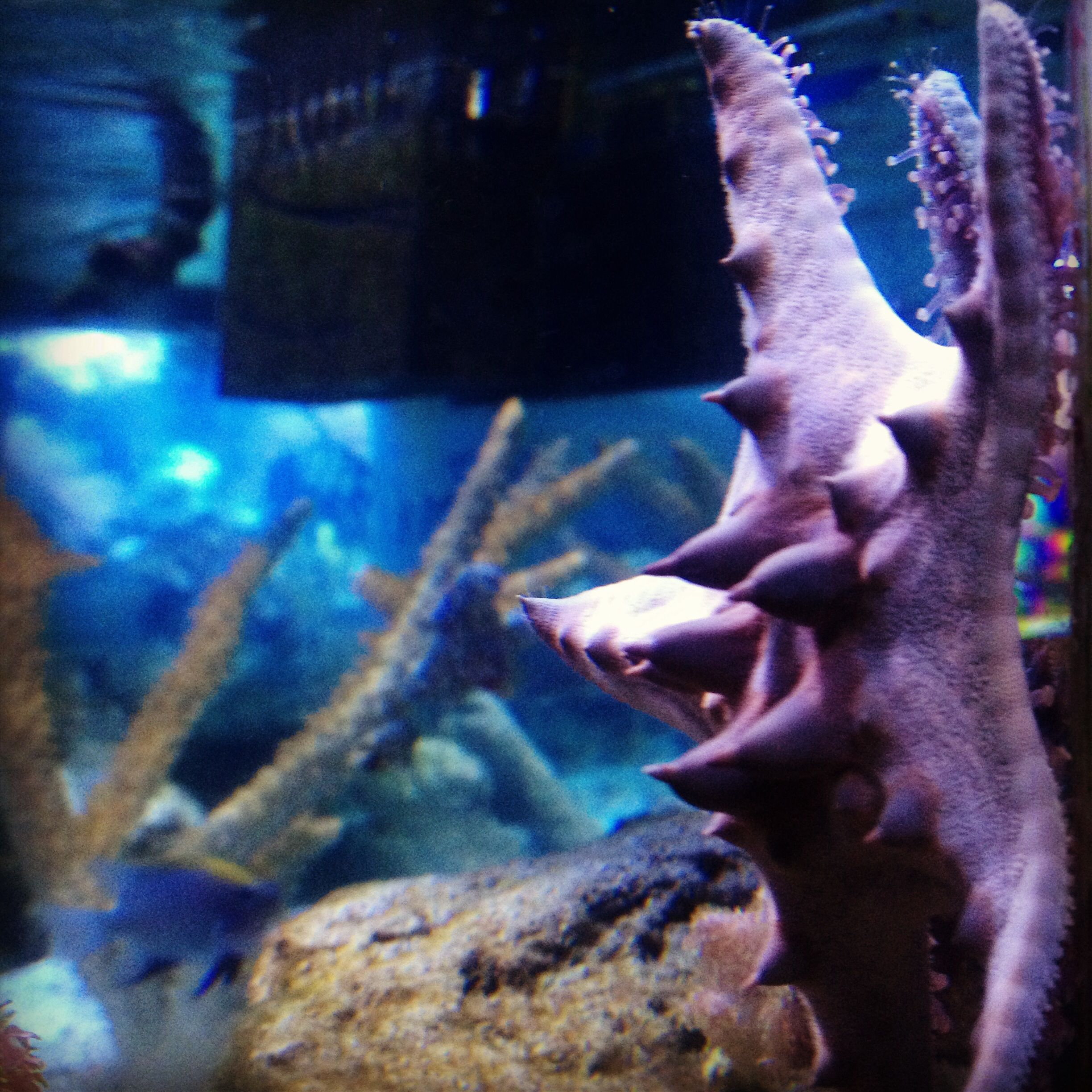 Chocolate chip starfish in our 125 gal predator tank   Our Tanks ...