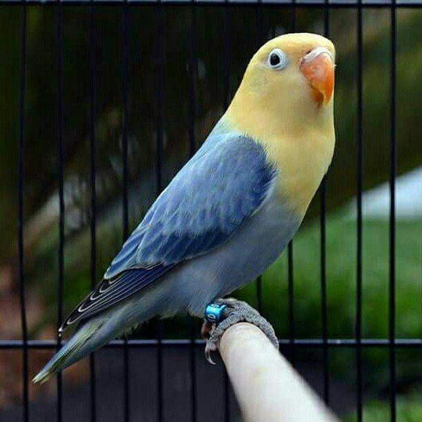 Download 68+ Foto Gambar Burung Lovebird Thailand HD Paling Keren Gratis