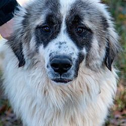 1/12/19 Spring, Texas - Great Pyrenees. Meet Walt, a for ...