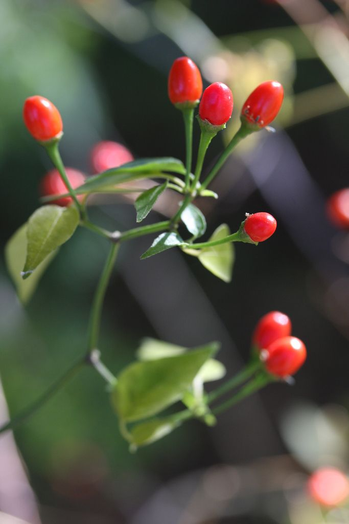 Official State Native Pepper of Texas: Chiltepin