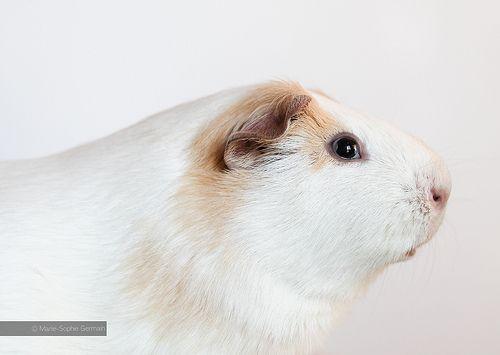 My guinea pig OSWALD - by Marie-Sophie Germain www.mariesophiegermain.com