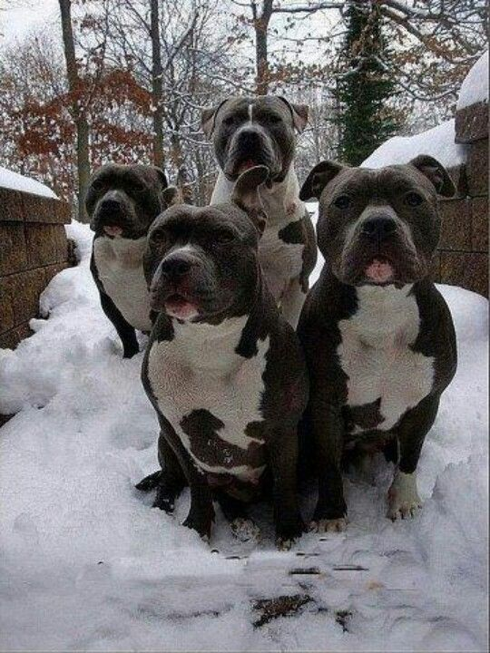 four pit bull family in love. Black Bedroom Furniture Sets. Home Design Ideas