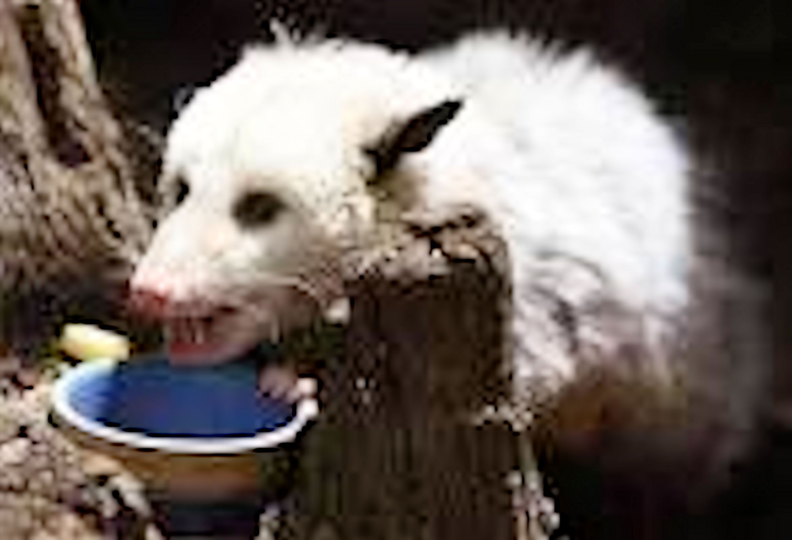 A white opossum just finishing his meal of meat, vegetables