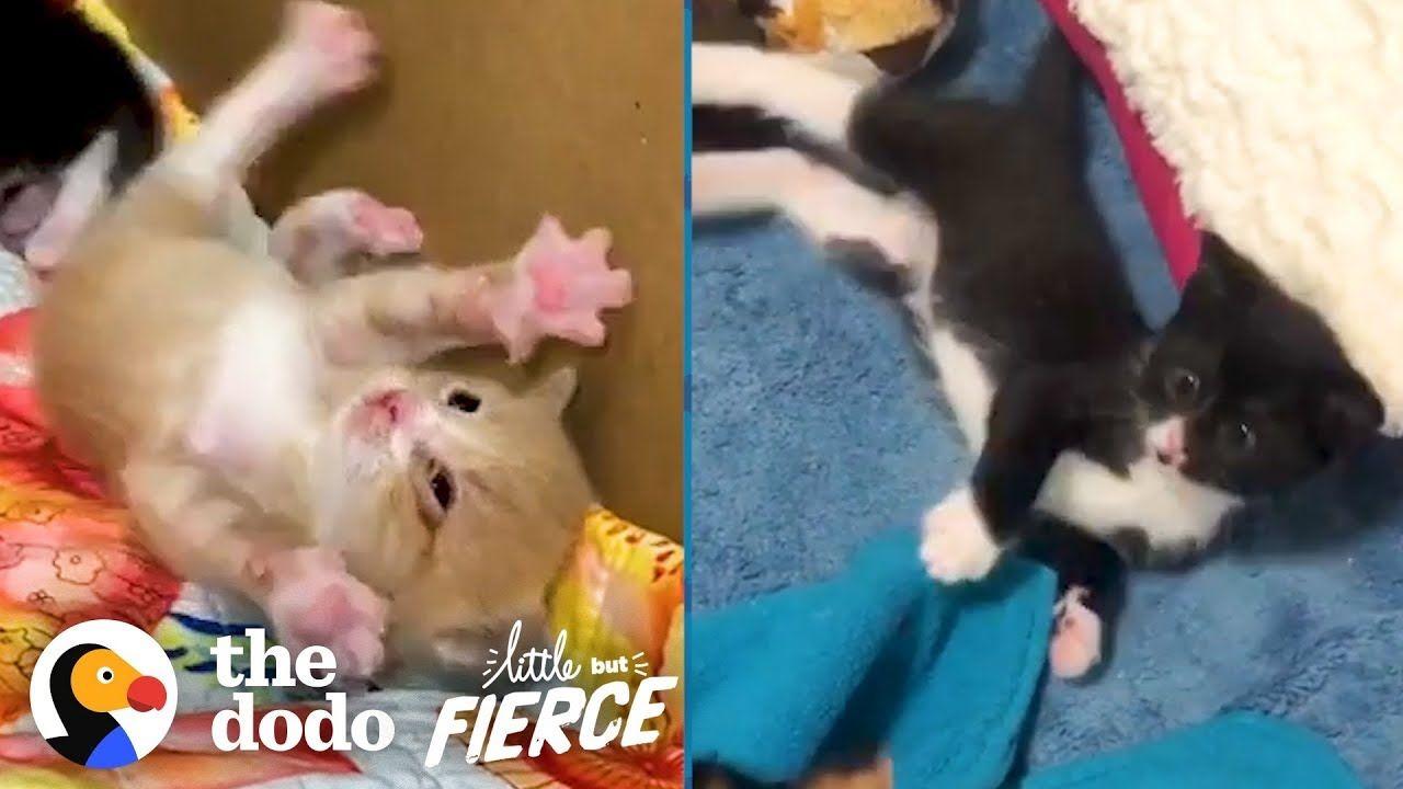Watch These Teeny Wobbly Kittens Never Give Up The Dodo Little But Fierce Youtube In 2020 Cute Kitten Gif Kittens Kittens Cutest