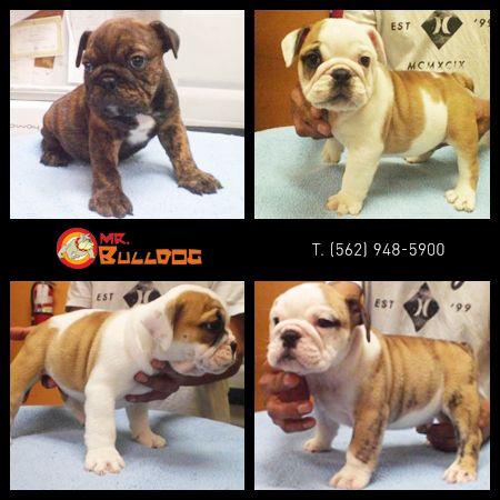 Visit Misterbulldog Net Mrbulldog Bulldog Puppies Bulldog