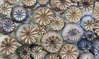 Chocolatefrog Samples 2015 Week 45 Poppy Seed Heads 400 x 300