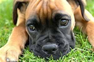 Boxer...just look at that face!