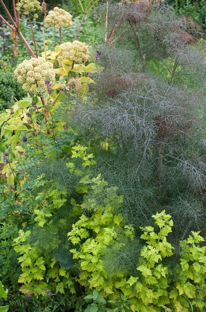 Plant pairing dwblog angelica officinalis foeniculum for Achat plante jardin