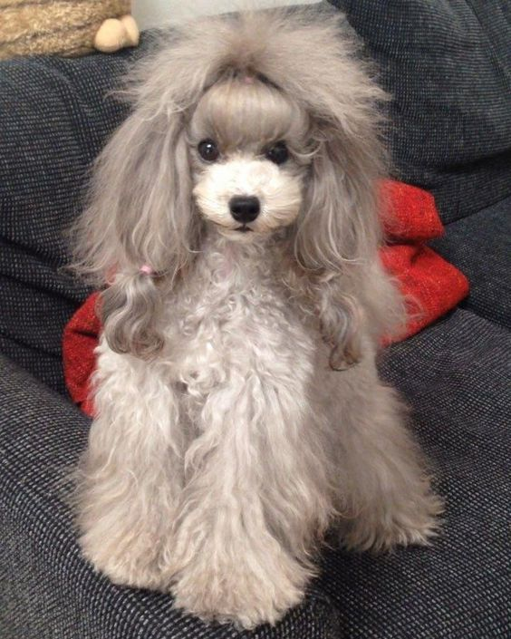 14 Funny Haircuts For Poodles That Will Make Your Day Happy Petpress In 2020 Poodle Haircut Miniature Poodle Haircuts Poodle Hair