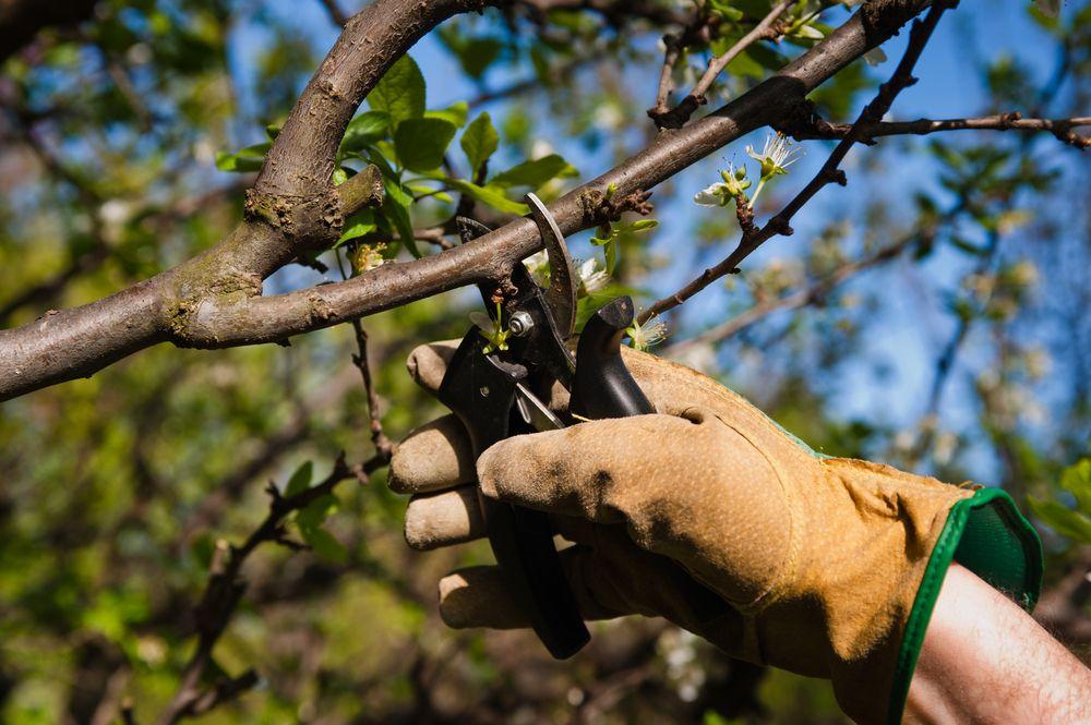 La taille des arbres fruitiers Taille arbre fruitier