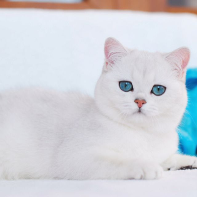 Shaded silver British Shorthair pets Pinterest