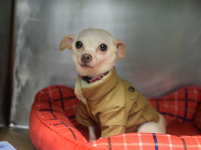 Super Urgent Dobi A1091700 Chihuahua Sh Mix 8 Yrs Stray Dog Safe Dog Adoption Foster To Adopt