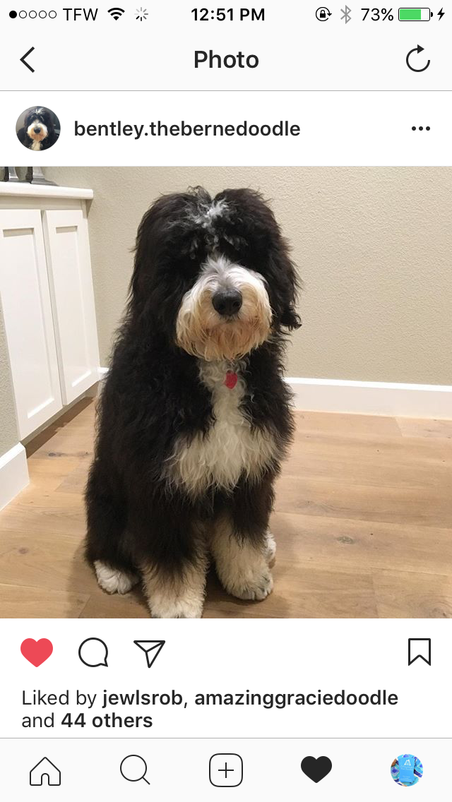 9 Month Old Bernedoodle Bentley 9 Month Olds 9th Month