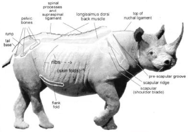 Diagram showing Black rhinos body regions. | rhino | Pinterest ...