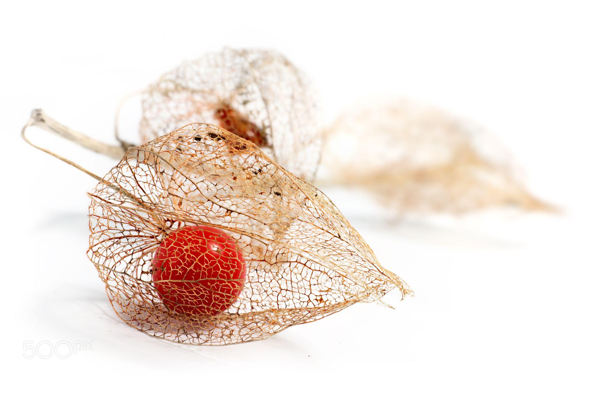 physalis chinese lantern dried fruits isolated on white backgrou - Physalis alkekengi - chinese lantern dried fruits with filigree texture isolated on white background