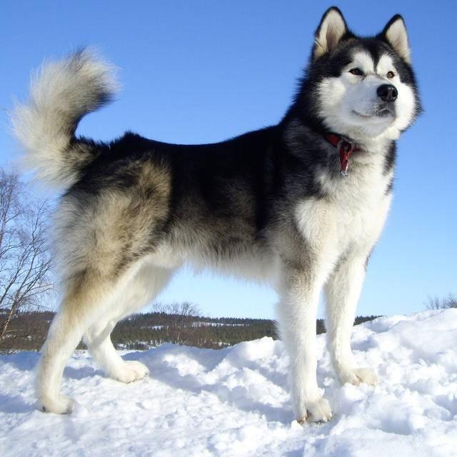 Pictures Of Alaskan Malamute Dog Breed Malamute Dog Malamute