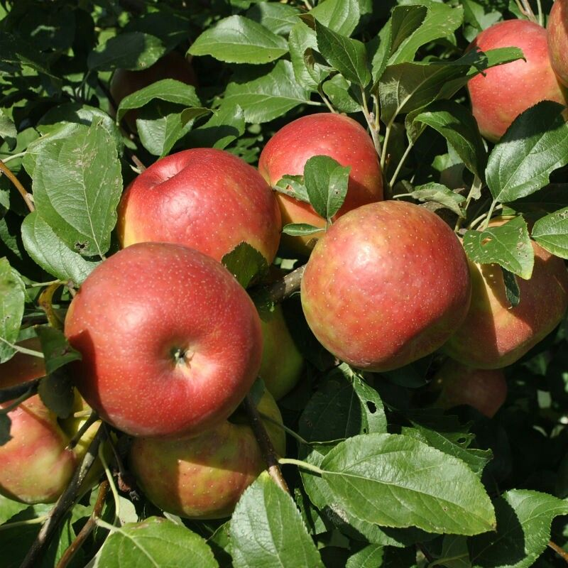 19+ Where are honeycrisp apples grown ideas in 2021