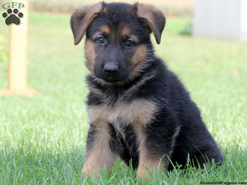 Jamaica German Shepherd Puppy For Sale From Gap Pa German