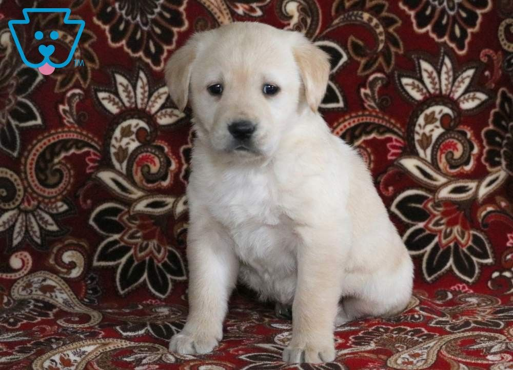 Priscilla Golden Labrador Goldador Puppy For Sale Keystone Puppies Labrador Puppies For Sale Golden Labrador Puppies Labrador Puppy