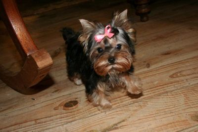 Yorkie Puppies For Sale Teacup Yorkies For Sale In Louisiana Yorkie Puppy For Sale Teacup Yorkie Puppy Yorkie Puppy