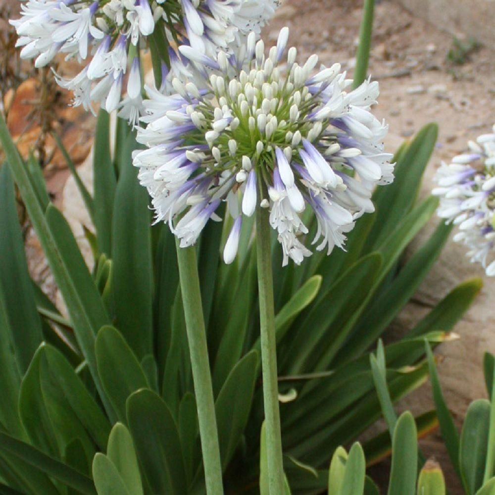 Southern Living Plant Collection 2 5 Qt White And Violet Bloom Clusters Queen Mum Agapanthus Live Perennial Plant 0093q The Home Depot Perennial Plants Southern Living Plants Southern Living Plant Collection