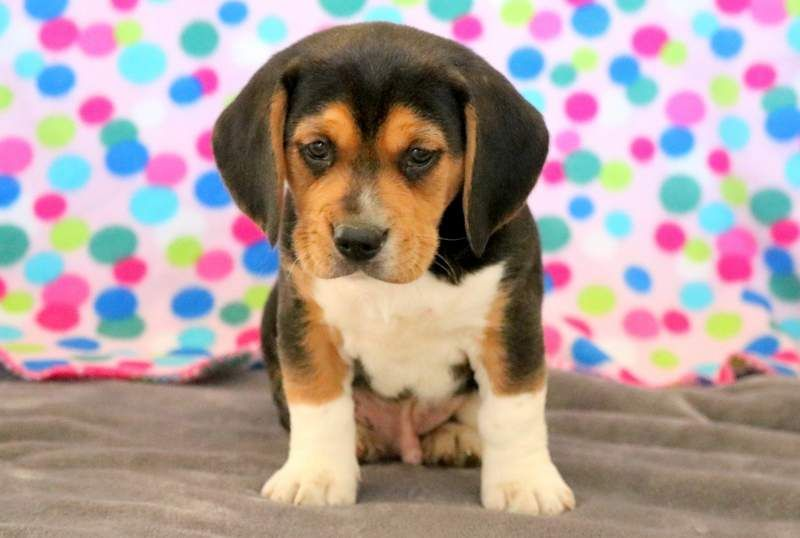 Davis Keystone Puppies Puppies For Sale Health Guaranteed