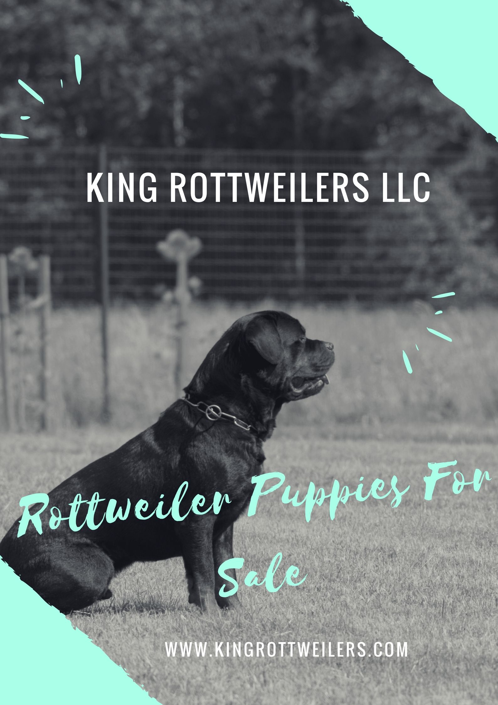 Giant Rottweiler Puppies For Sale! | Rottweiler Puppy Cost