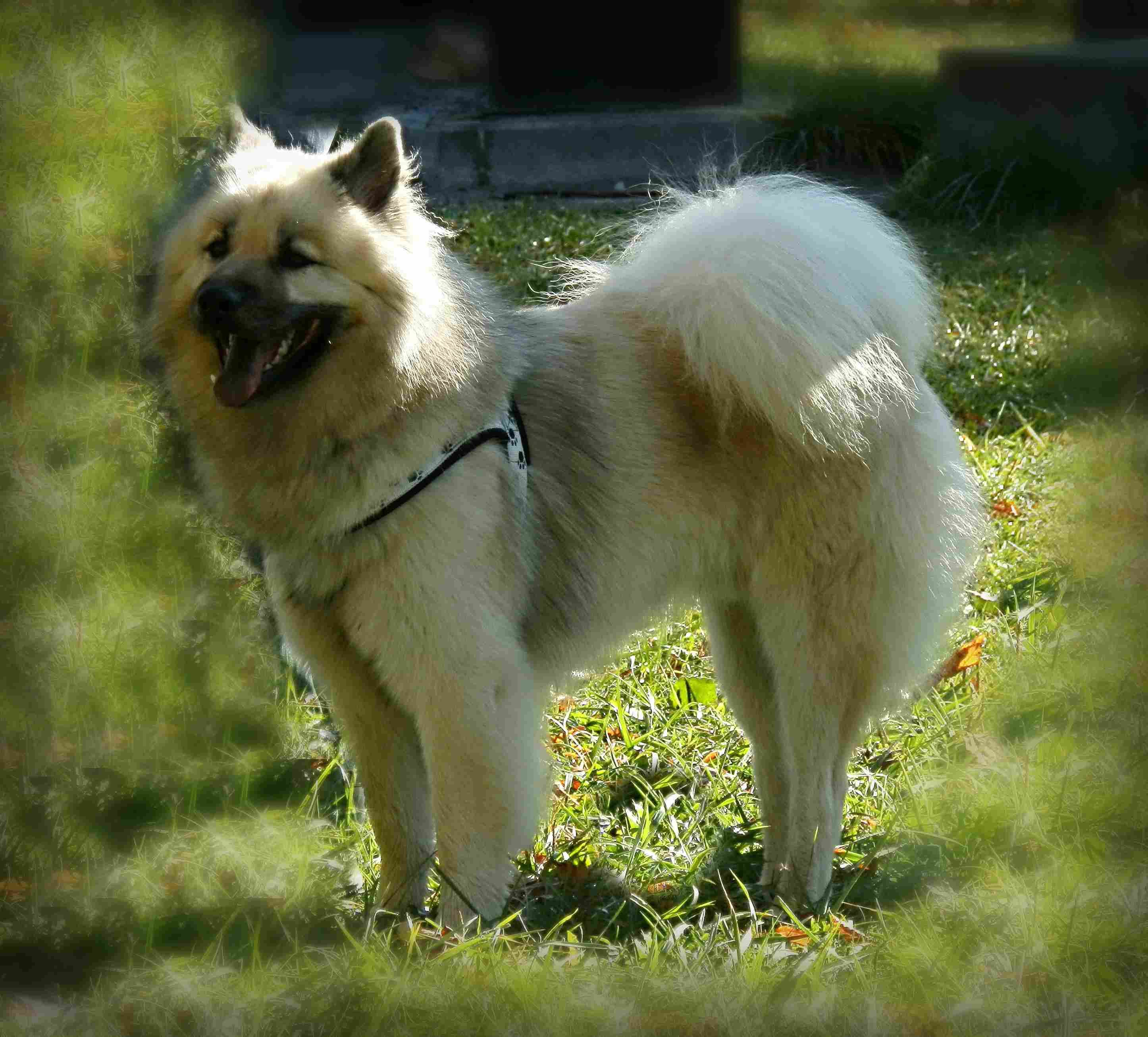 Dog Eurasier Swiss Eurasier