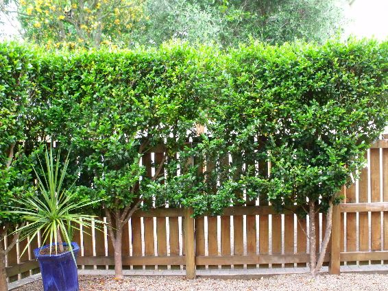An 8 9ft Pleached Camellia Hedge From One Of My Garden Maintenance Jobs Only Needs A Trim Once A Year Hooray Garden Maintenance Maintenance Jobs Hedges