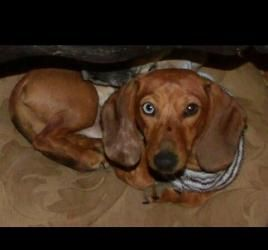 Beebo Dapple Is An Adoptable Dachshund Dog In Evansville In