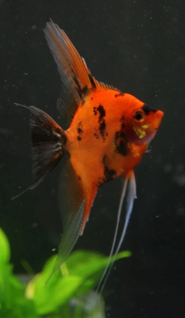 Ultimate Coverage Koi Angelfish Angel Fish Tropical Fish Aquarium Aquarium Fish
