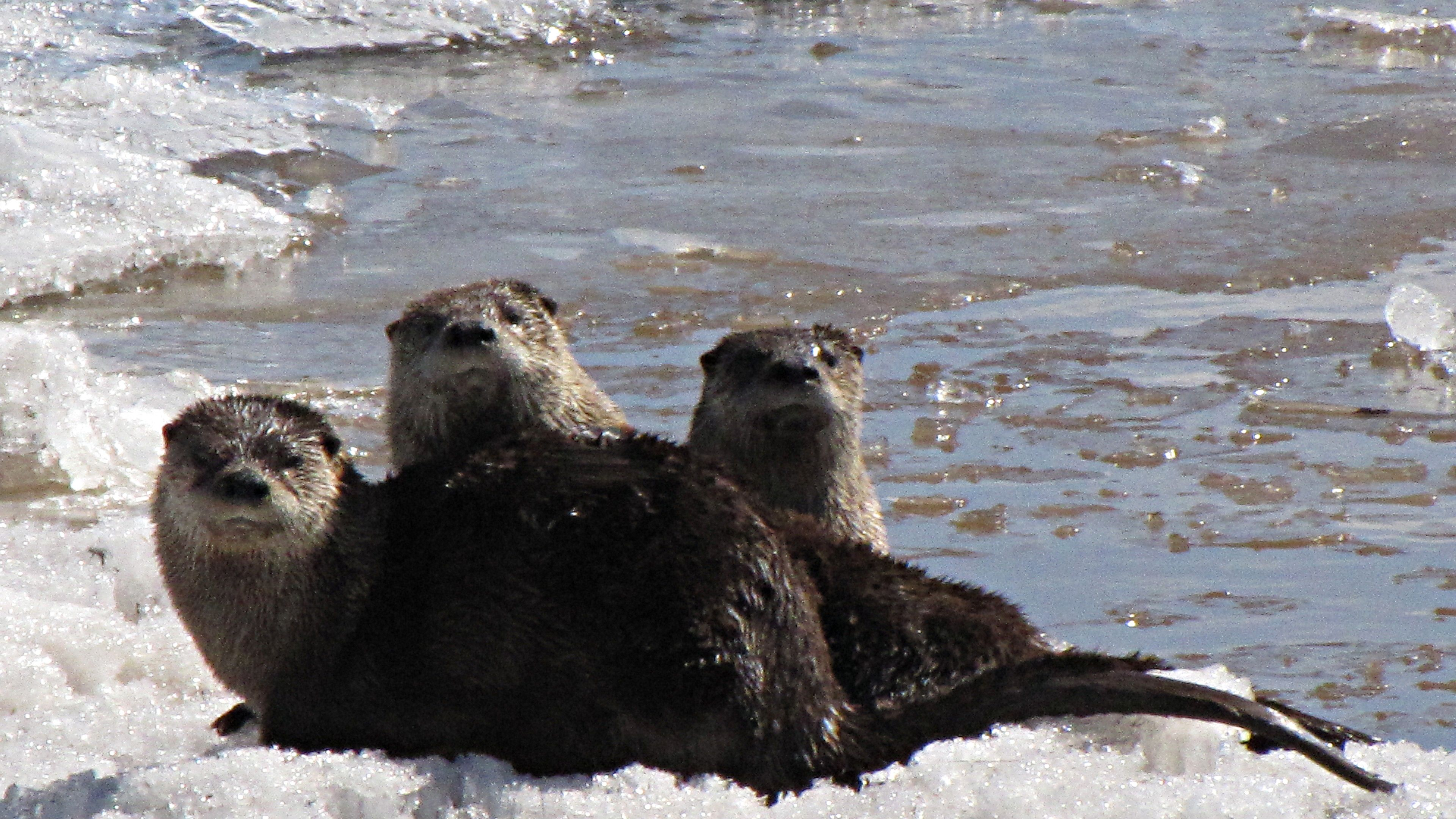 Otters at play in Port Wing harbor
