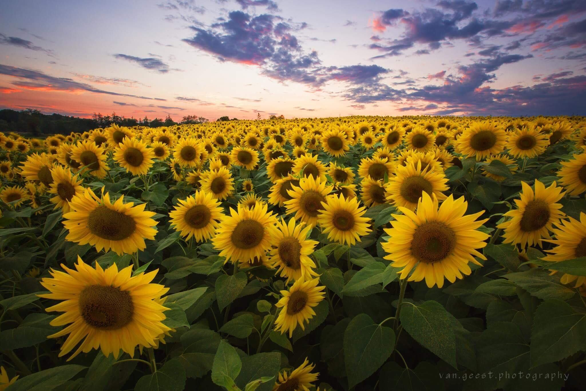 Field of Sunflowers at Sunset. Newbury Massachusetts. [2400x1600] [OC]