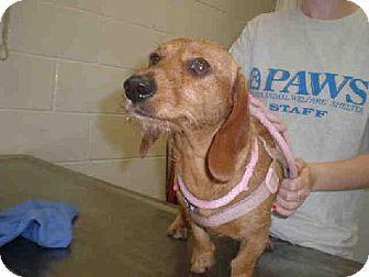 Peoria Il Dachshund Meet A184394 A Dog For Adoption Http