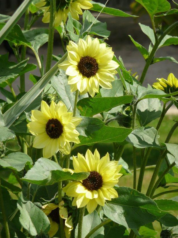 Soleil dans le ciel, soleils dans les jardins | Jardins, Garden oasis et Jardin paris