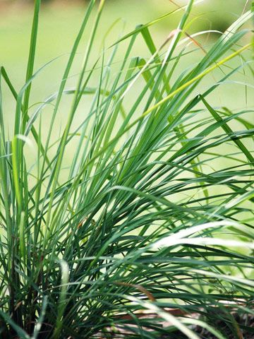 Add Citrus Scents And Beautiful Texture To Your Garden With Lemongrass Planting Herbs Perennial Herbs Citronella Plant