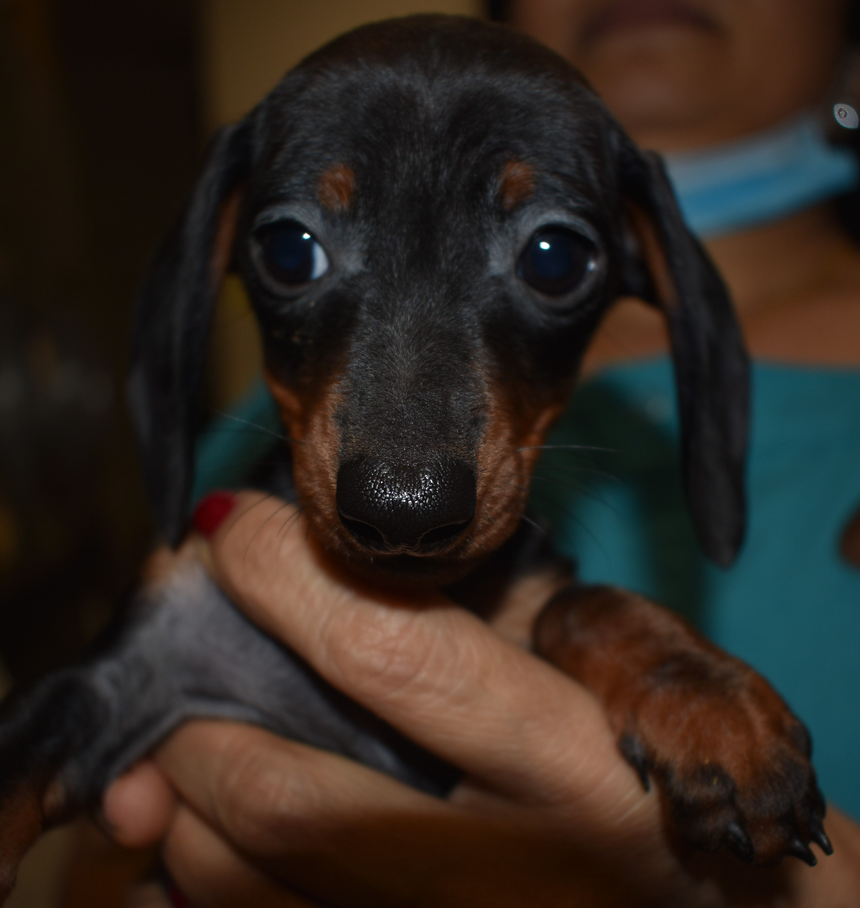 Dachshund Dog For Adoption In Seattle Wa Adn 699508 On