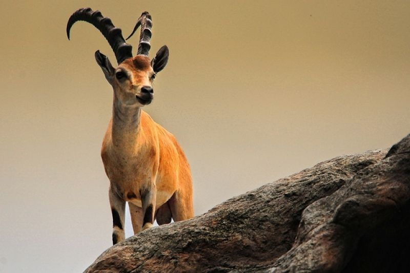 Ibex Hd Wallpapers Pictures Wallpaper Pictures Animal Wallpaper Ibex