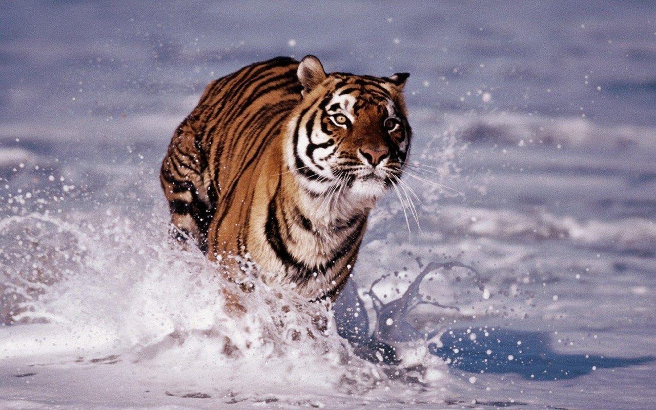 gambar harimau nama hewan dari huruf H