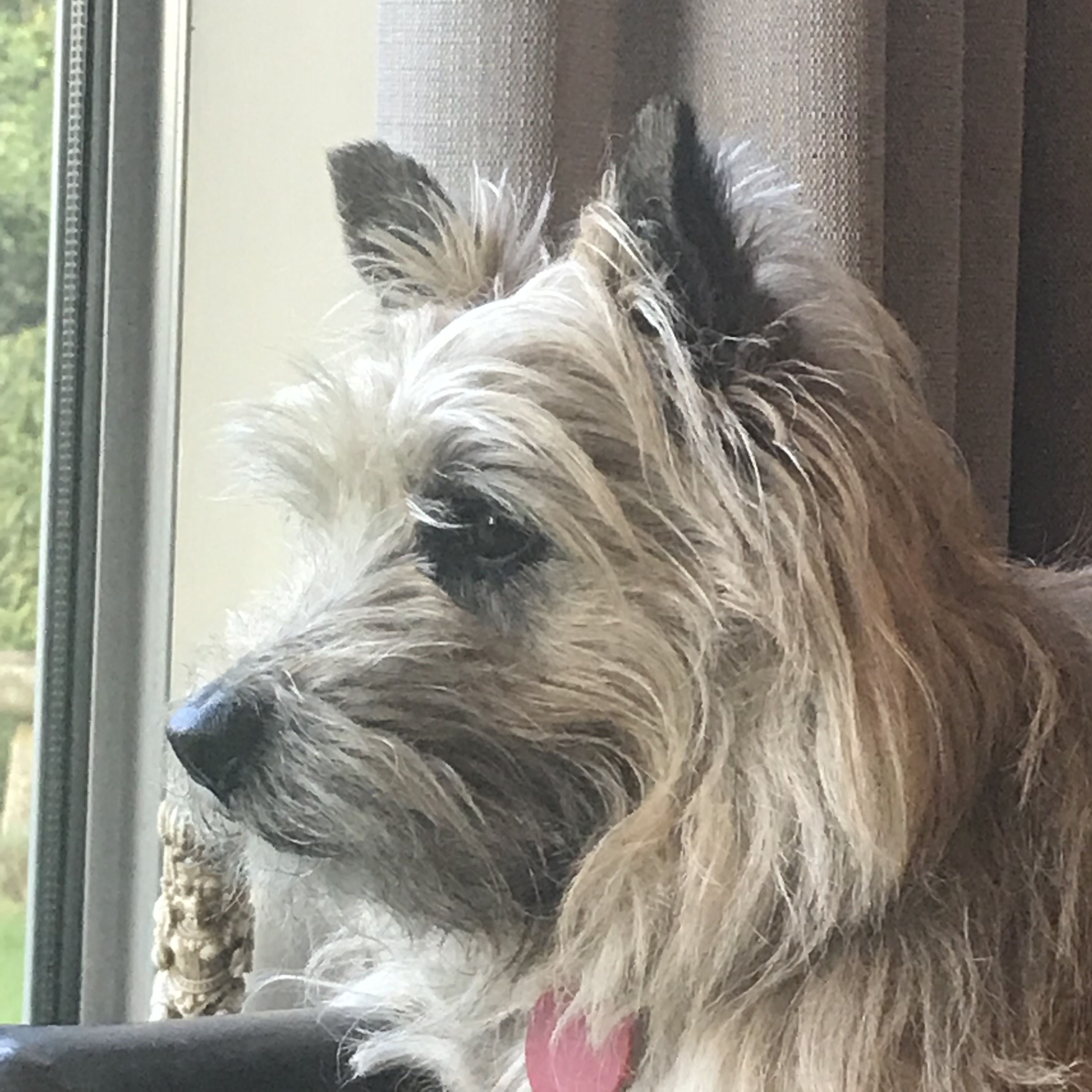 Pin By Thomas Barr On Westie Cairn Terrier Dogs Cute Dogs